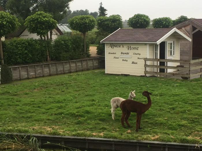 Alpaca's onderweg: die zie je ook niet elke dag!